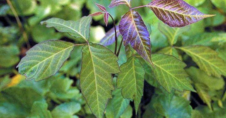 635850768900046285-Poison-ivy